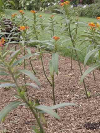 Asclepias -Milkweed