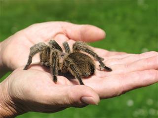 Tarantula Arachnid In Hand Close Up