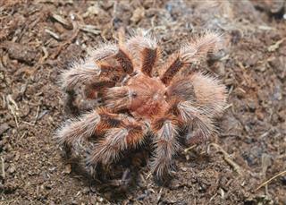 Tarantula spider (Grammostola rosea) macro