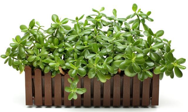 Jade plant in flowerpot