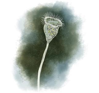 Vorticella, Protozoan