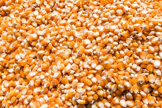 corn grains drying in direct sunlight