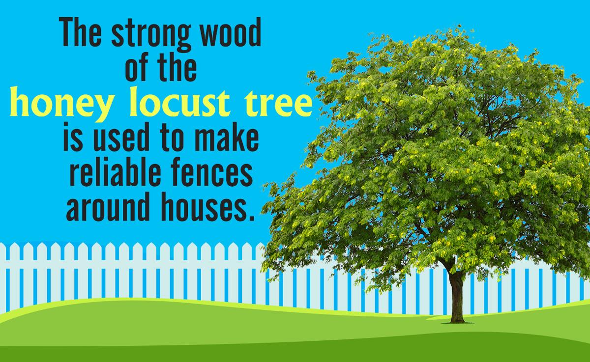 Honey Locust Tree Facts