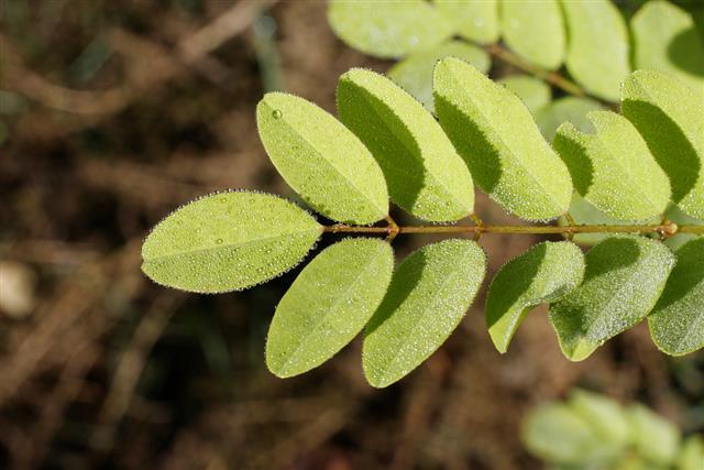 Spots of dew on yellow green leaflets honey locust tree