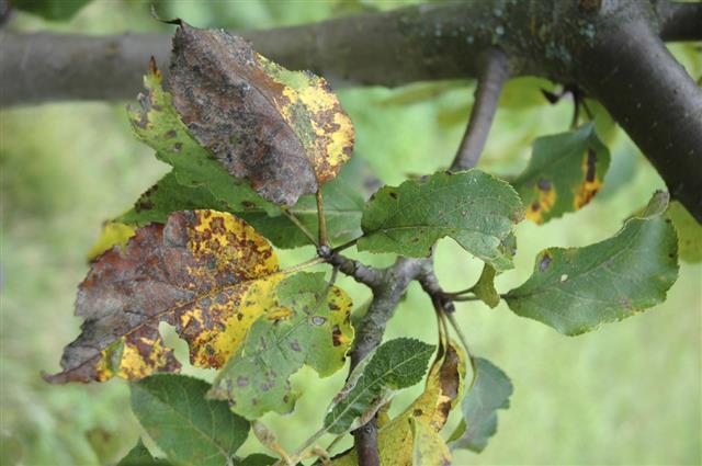 Plum rust disease on leaves