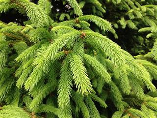 Green Spruce Pine Tree