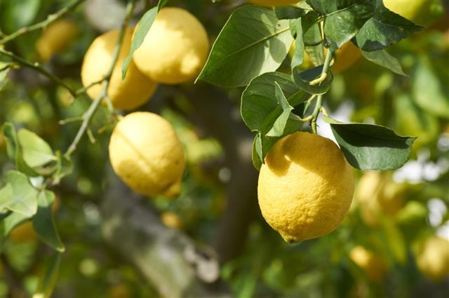 Lemons plant