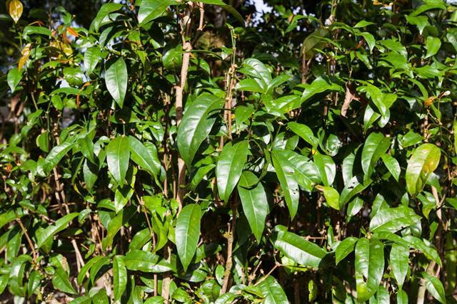 Gnetum tree