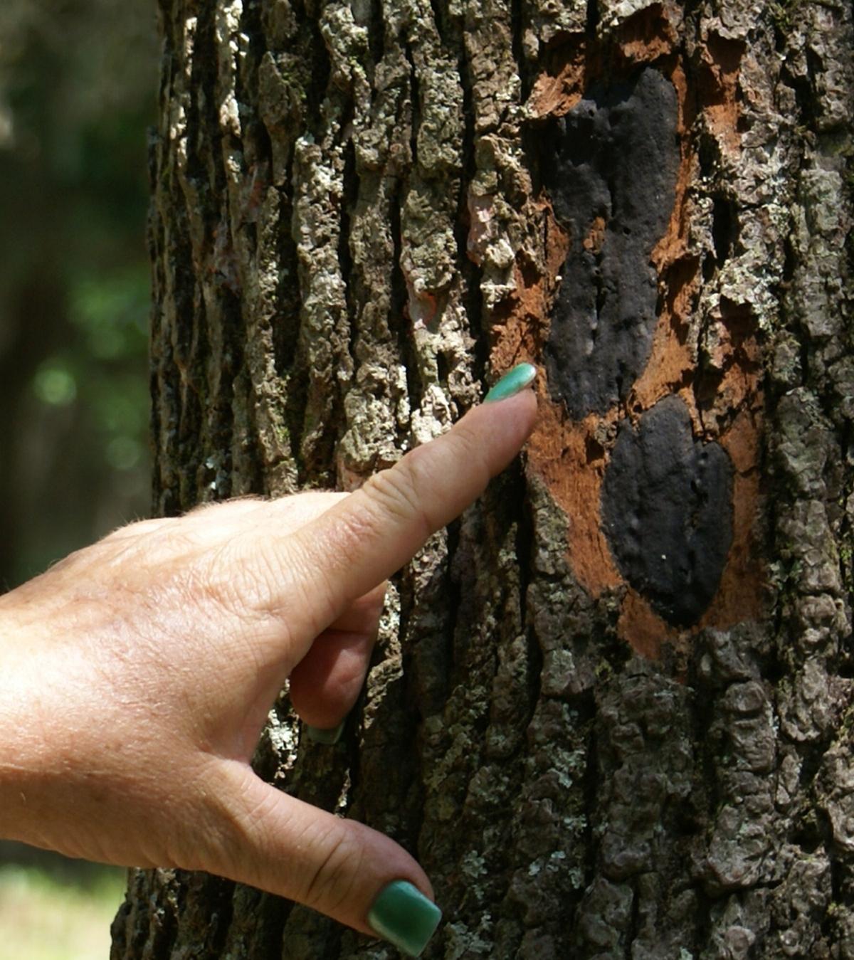 Little Gem Magnolia Tree Care