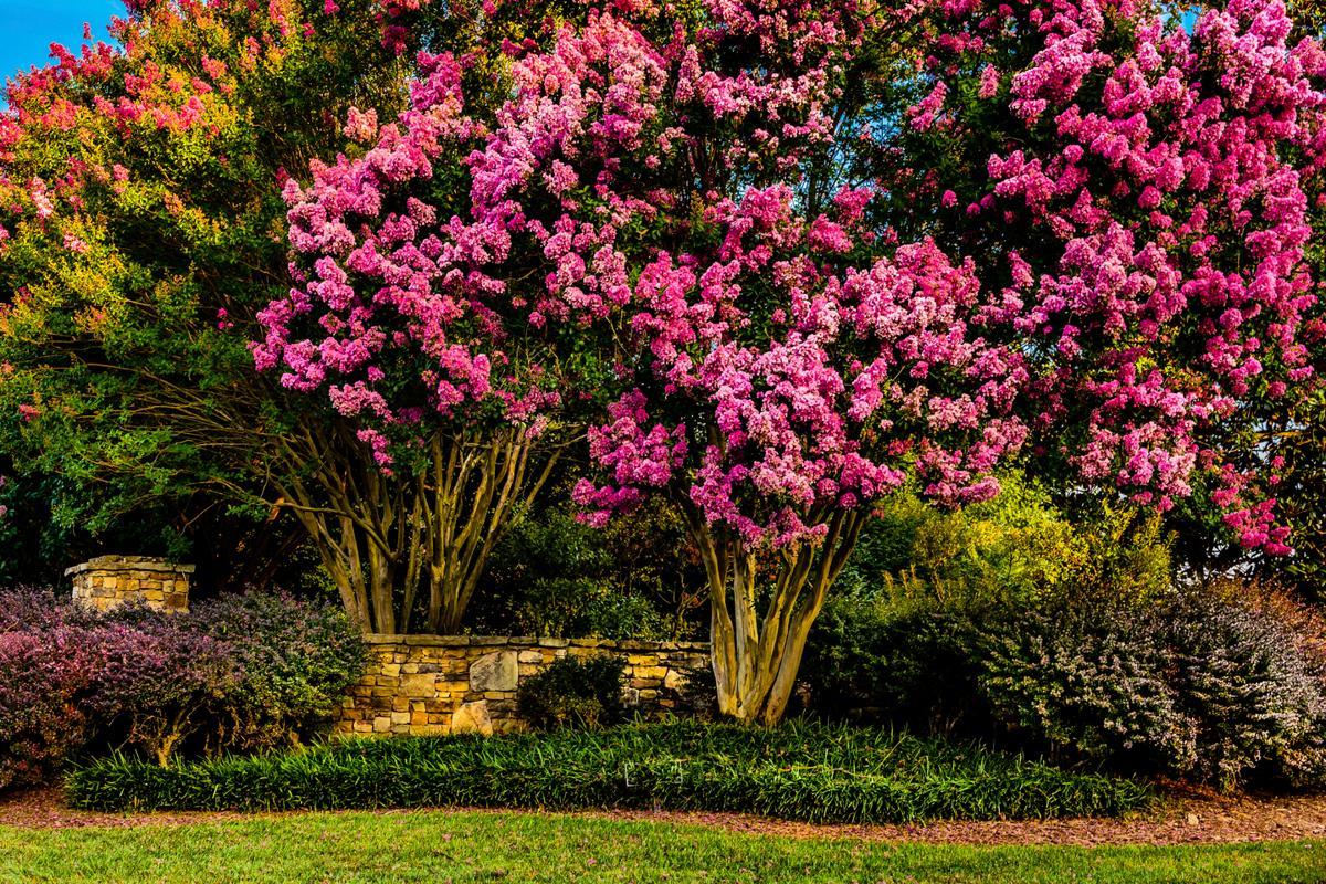 Pink flowering trees the crape myrtle tree mightylinksfo Gallery