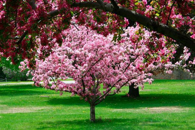 Blossoming Crab Apple Tree