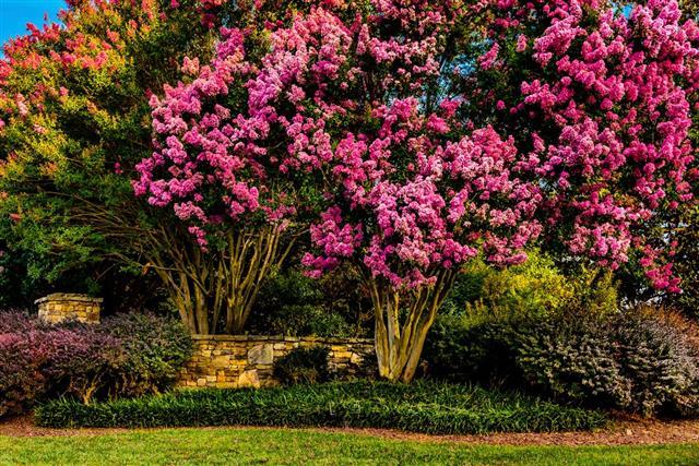 The Crape Myrtle tree