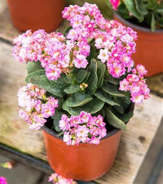 Beautiful Kalanchoe House Plant