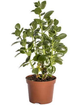 Kalanchoe Bush in Pot
