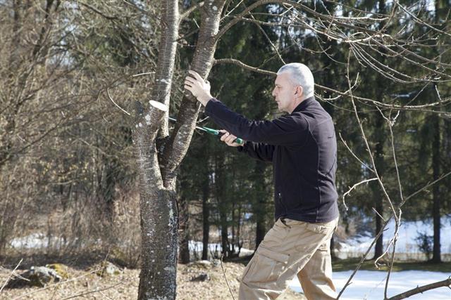Mid aged man gardener sawing, cutting fruit tree