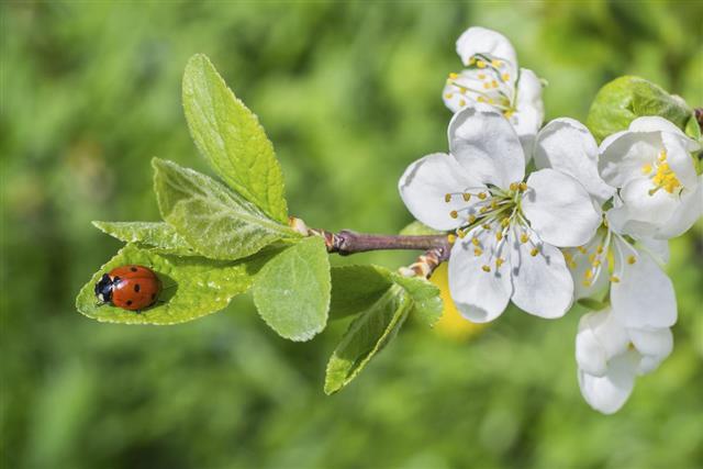 Ladybug sits on a cherry leaf