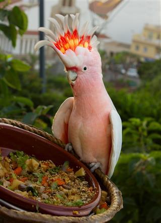 Cockatoos parrot