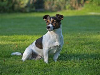 Alerted Jack Russell Terrier