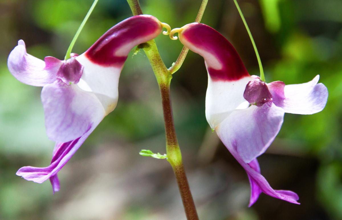 Marvelous Information About Parrot Flowers - Gardenerdy