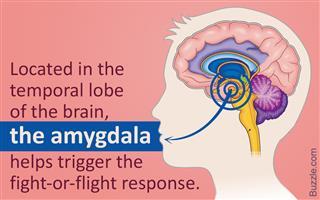 Function of amygdala