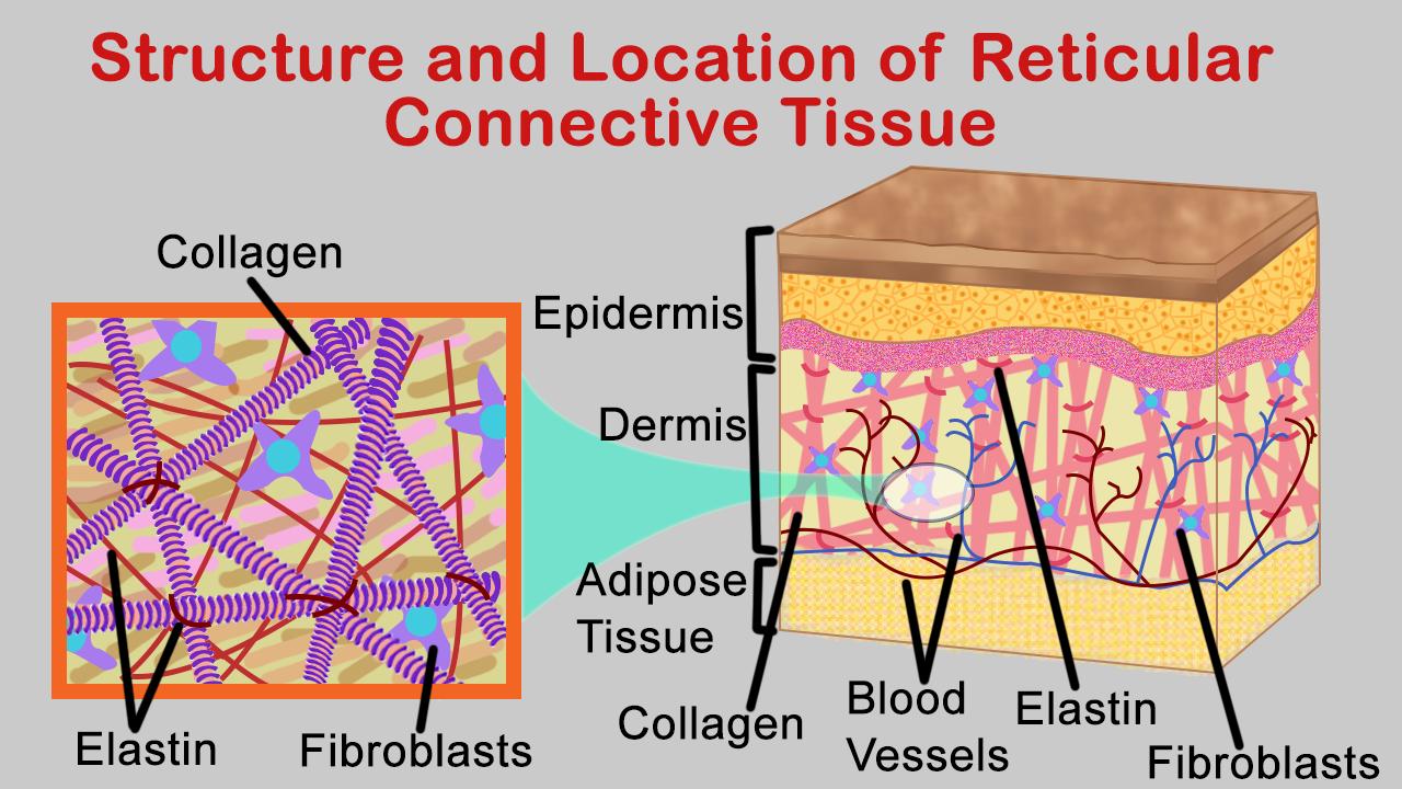 Reticular Tissue Diagram