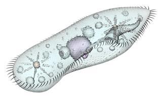 Digital image of a paramecium cell