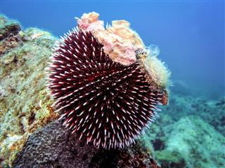 Underwater photo of Purple Sea Urchin