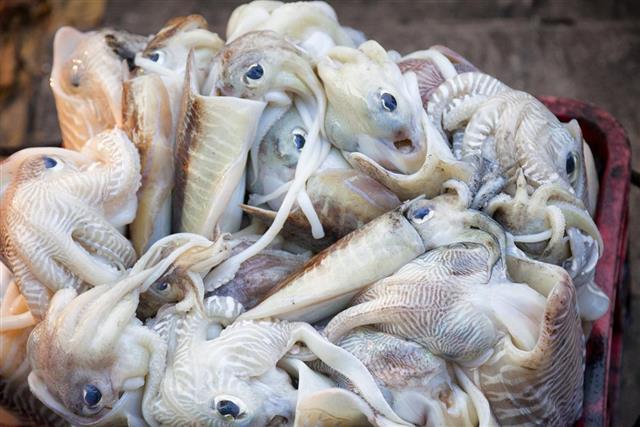 Freshly Caught Squid in Kochi, India