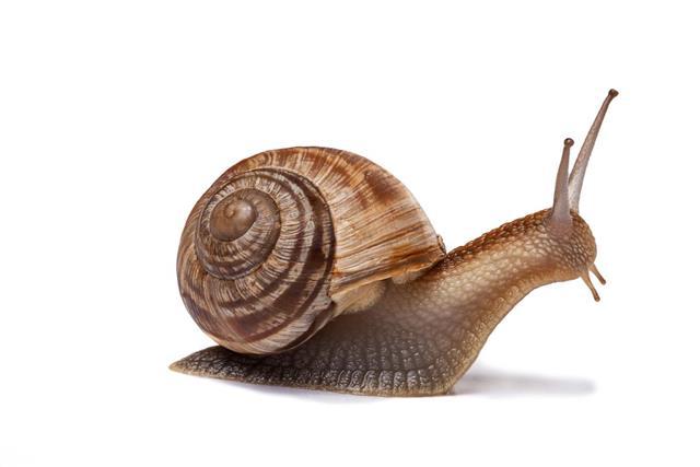 A brown garden snail