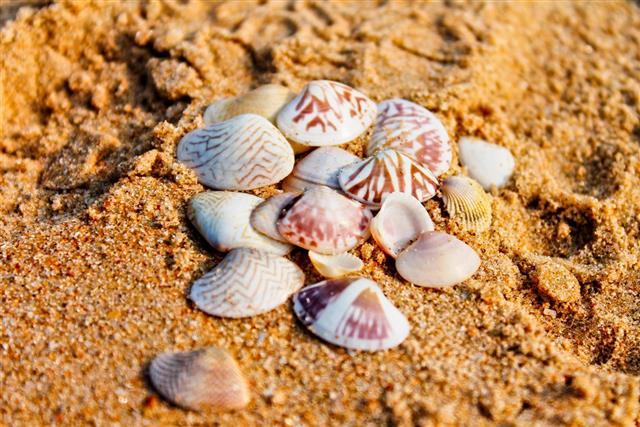 Seashells on the sand, GOA
