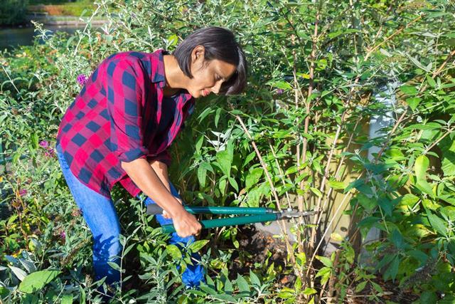Woman pruning buddleja shrub
