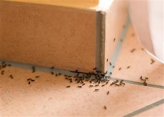 Ants plague