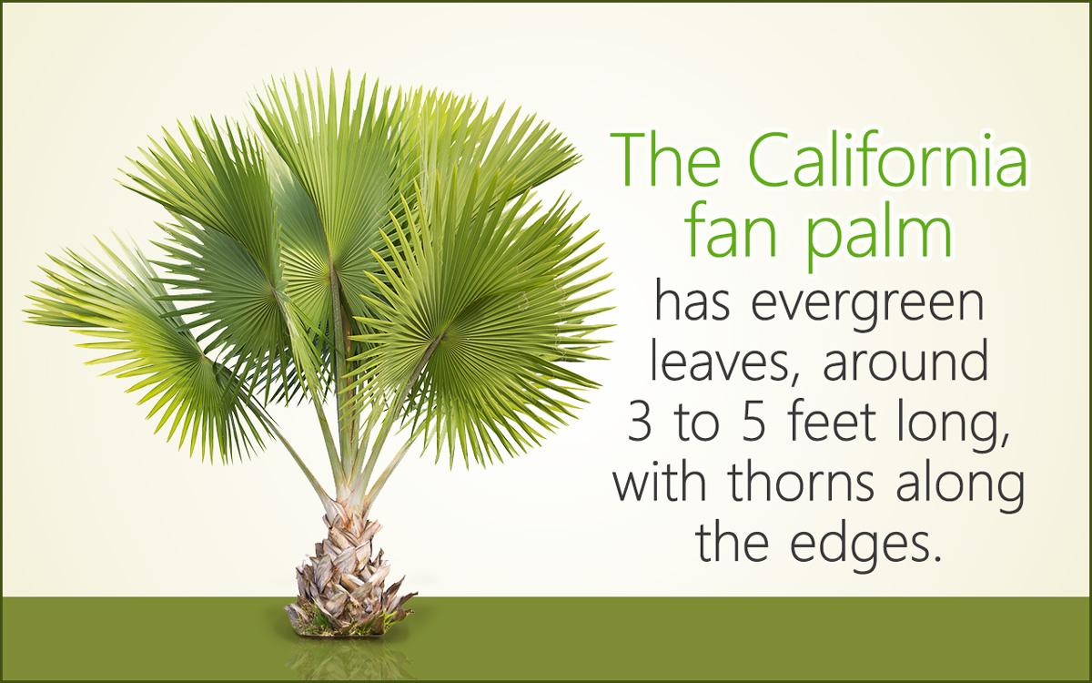 Fan Palm Tree Care
