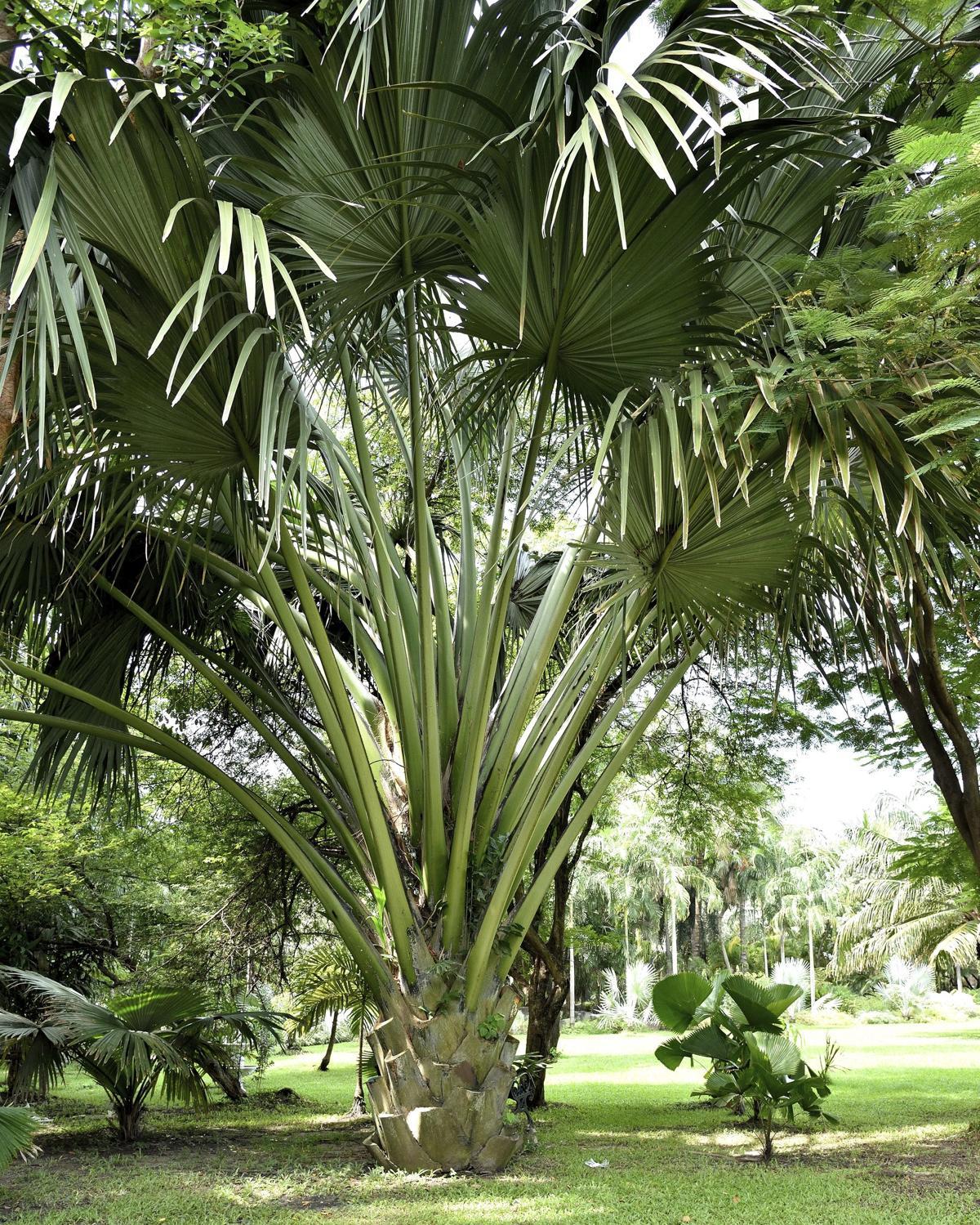 1200-84645357-fiji-fan-palm-tree Palm Trees Backyard Design Ideas on palm trees garden design, fruit trees backyard design ideas, palm trees deck, palm trees landscaping ideas,