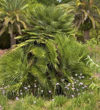 Chinese windmill palms