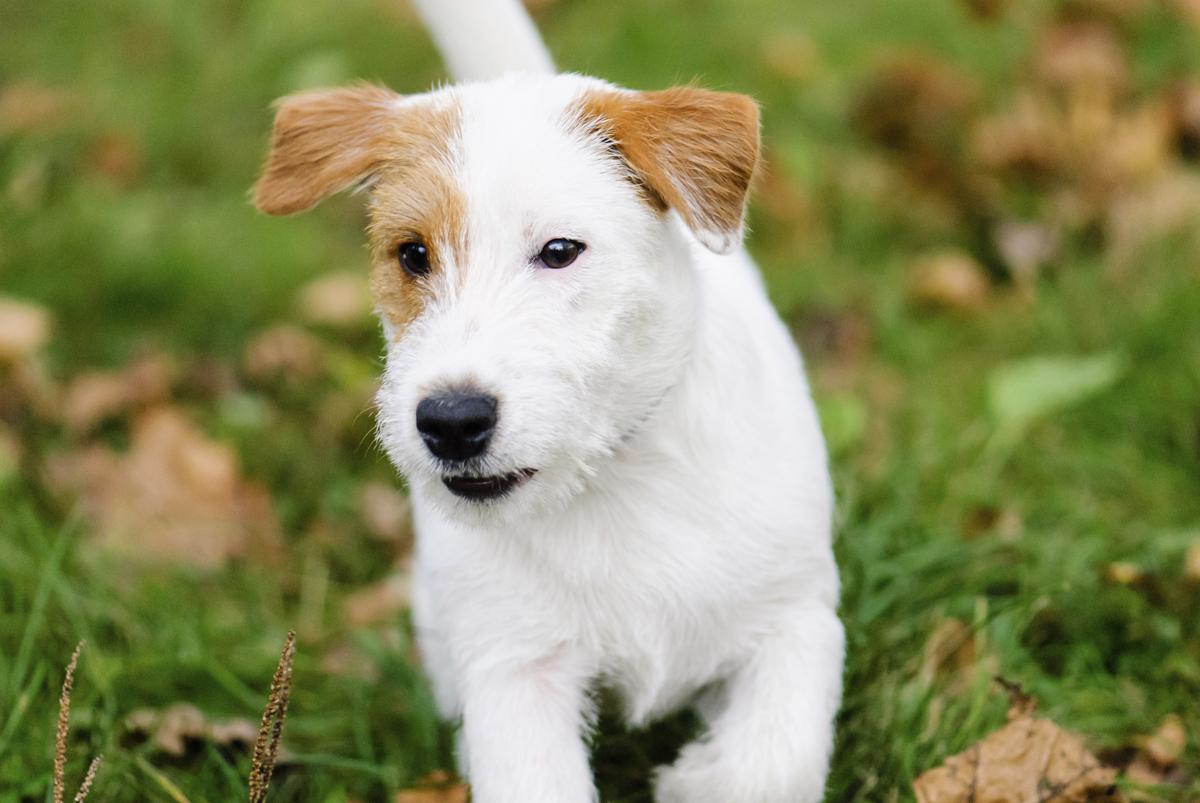 Amazing Cairn Terrier Ball Adorable Dog - 1200-104319041-cairn-jack-russell-terrier  Photograph_389057  .jpg