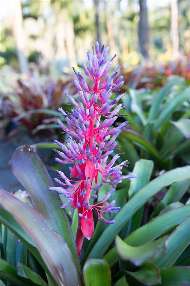 Flowering bromeliad