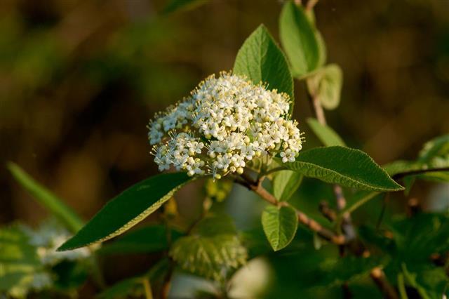Viburnum Nannyberry