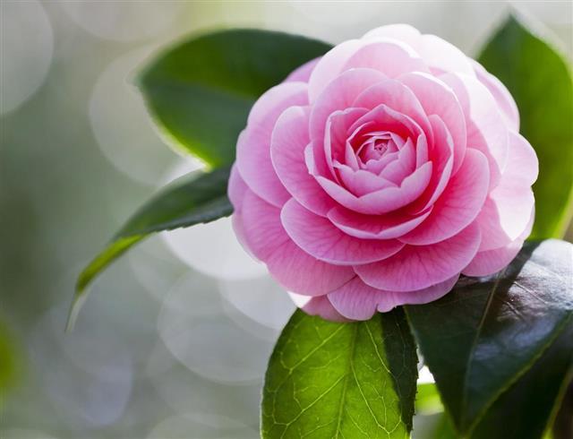 Supreme Camellia