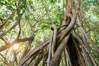Mauritius Island Liana Jungle Forest Tropical Rainforest