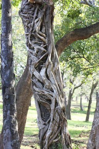 Strangler tree in Sri Lanka