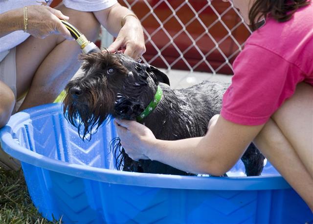 Scottish Terrier Getting a Bath