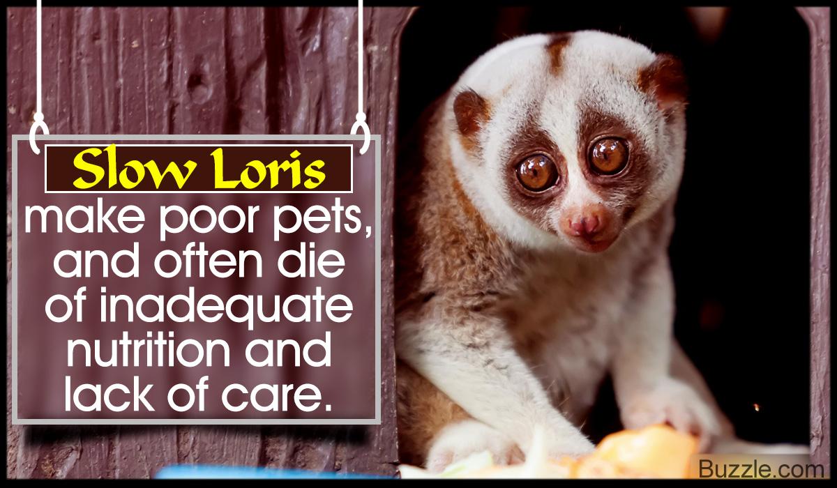 Slow Loris as a Pet