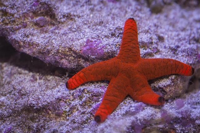 Red Starfish in underwater