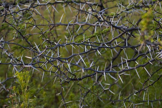 Acacia thorn