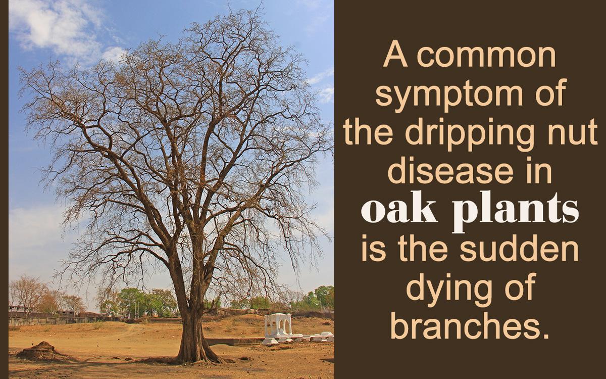 Diseases affecting live oak trees biocorpaavc
