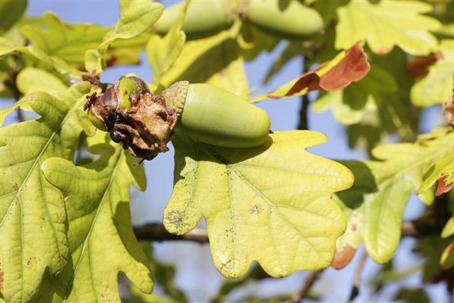 Nut Disease