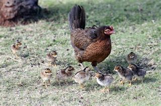 American game chicken