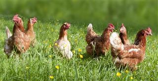 Austrian chickens