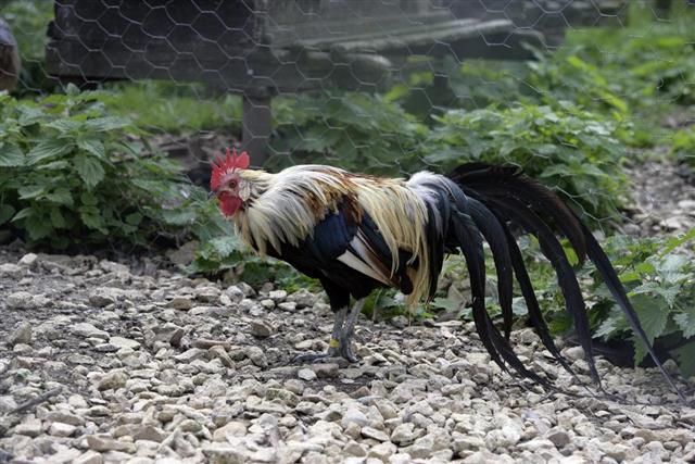 Yokohama chicken